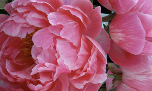 Blossoms by the sensualist